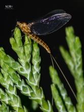 Døgnflue