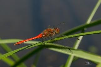 Rød Libelle