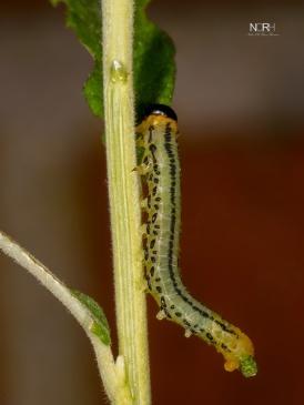 Birkebladshveps larve