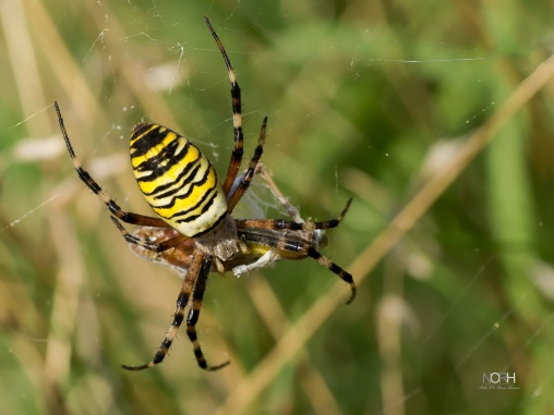 Hvepse Edderkop