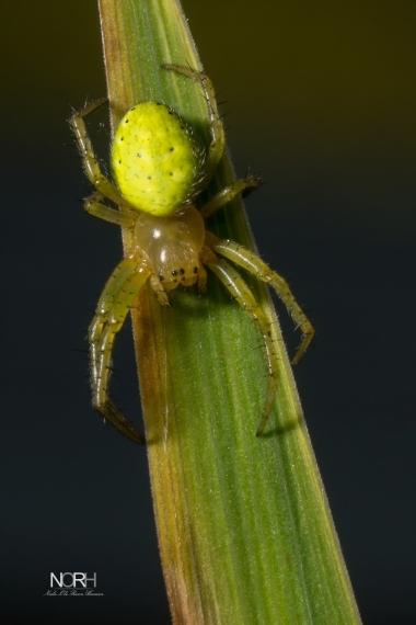 Agurkedderkop