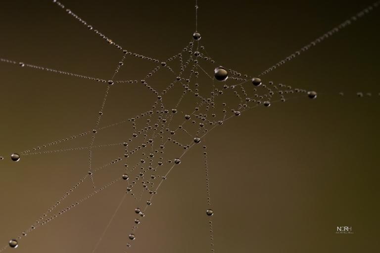 Dugdråber i Edderkoppespind
