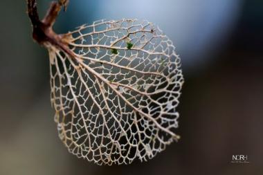 Hortensia blad