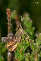 Lyng Græshoppe