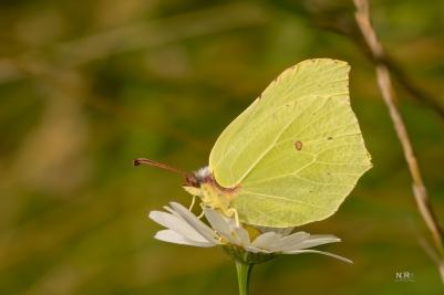 Citron Sommerfugl