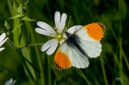 Aurora Sommerfugl ( Han )