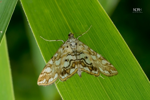Åkandemøl (N. nymphaeata)