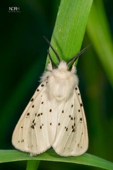 Hvid Tigerspinder