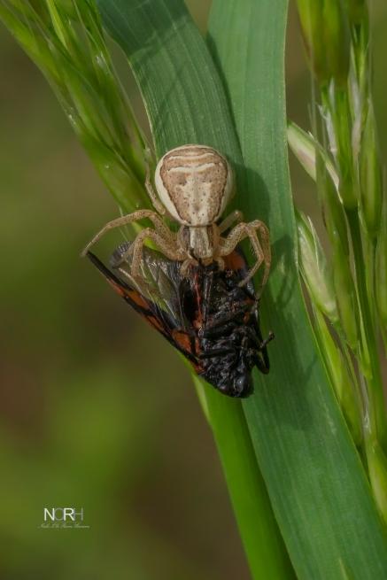 Krabbeedderkop